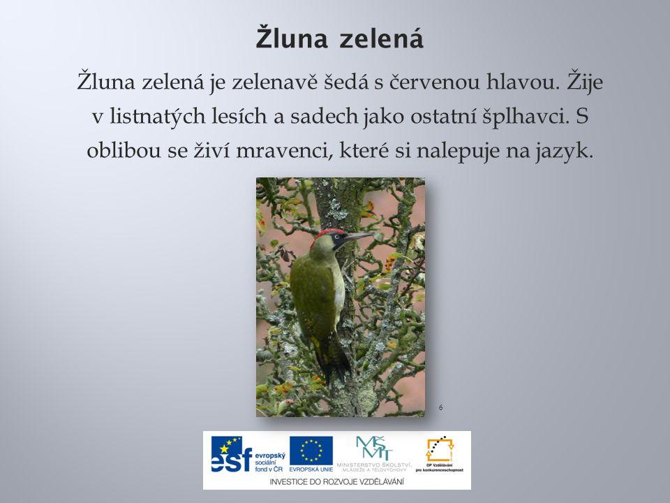 7.Picus viridis juv(ThKraft).jpg.In: Wikipedia: the free encyclopedia [online].