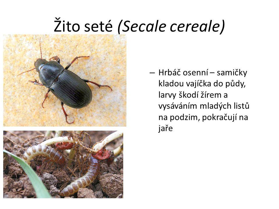 Žito seté (Secale cereale) – Hrbáč osenní – samičky kladou vajíčka do půdy, larvy škodí žírem a vysáváním mladých listů na podzim, pokračují na jaře