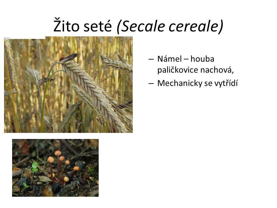 Žito seté (Secale cereale) – Námel – houba paličkovice nachová, – Mechanicky se vytřídí