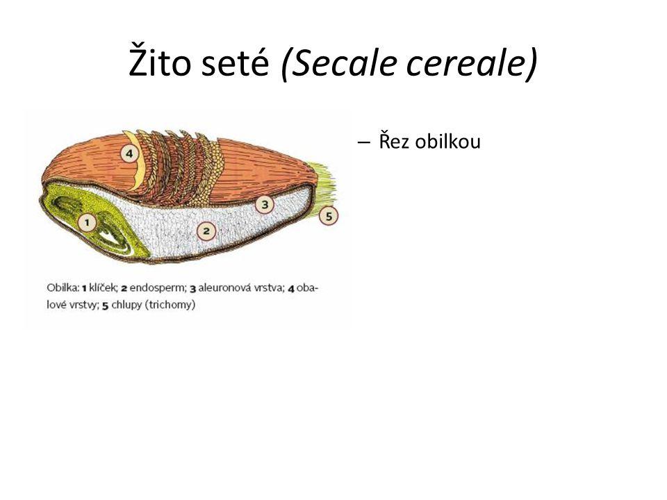 Žito seté (Secale cereale) – Řez obilkou