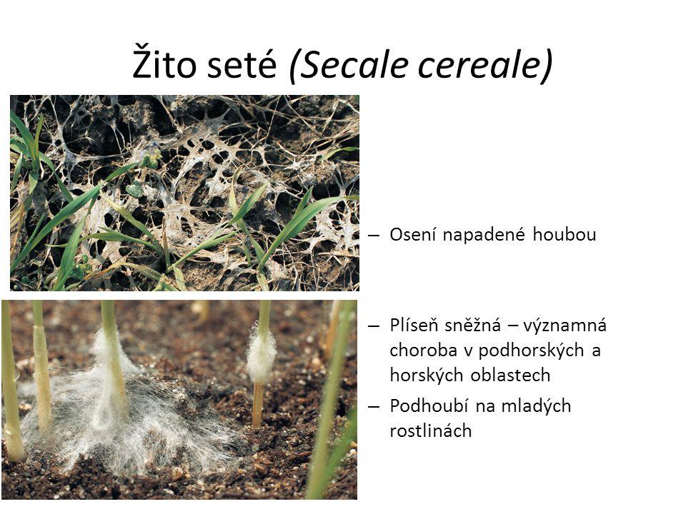 Žito seté (Secale cereale) – Osení napadené houbou – Plíseň sněžná – významná choroba v podhorských a horských oblastech – Podhoubí na mladých rostlin