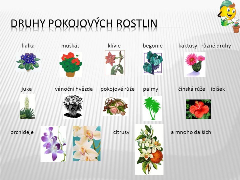 fialka muškát klívie begonie kaktusy - různé druhy juka vánoční hvězda pokojové růže palmy čínská růže – ibišek orchideje citrusy a mnoho dalších 4