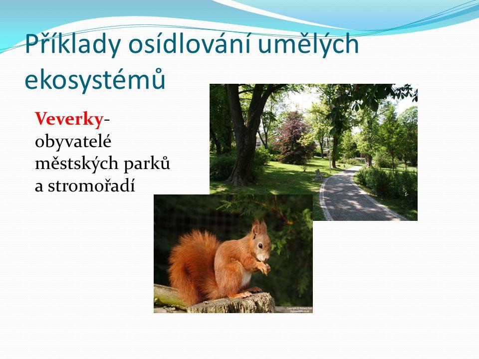 Příklady osídlování umělých ekosystémů Sokol stěhovavý- patří k nejpřizpůsobivějším dravcům, nachází ve městě dostatek potravy i příležitosti k hnízdění.
