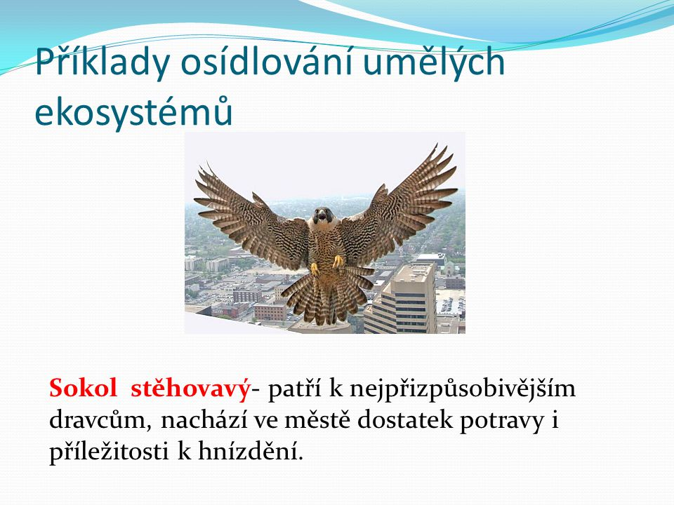 Příklady osídlování umělých ekosystémů Sokol stěhovavý- patří k nejpřizpůsobivějším dravcům, nachází ve městě dostatek potravy i příležitosti k hnízdě
