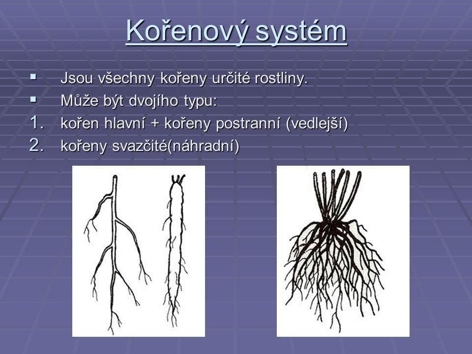 Kořenový systém  Jsou všechny kořeny určité rostliny.  Může být dvojího typu: 1. kořen hlavní + kořeny postranní (vedlejší) 2. kořeny svazčité(náhra