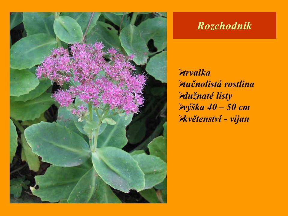 Rozchodník  trvalka  tučnolistá rostlina  dužnaté listy  výška 40 – 50 cm  květenství - vijan
