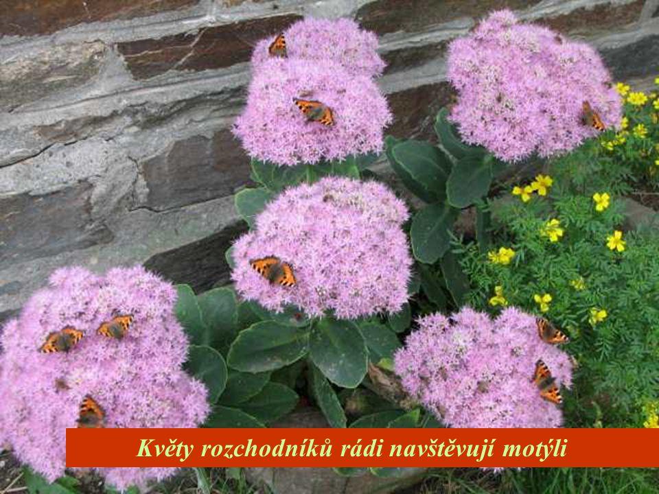 Květy rozchodníků rádi navštěvují motýli