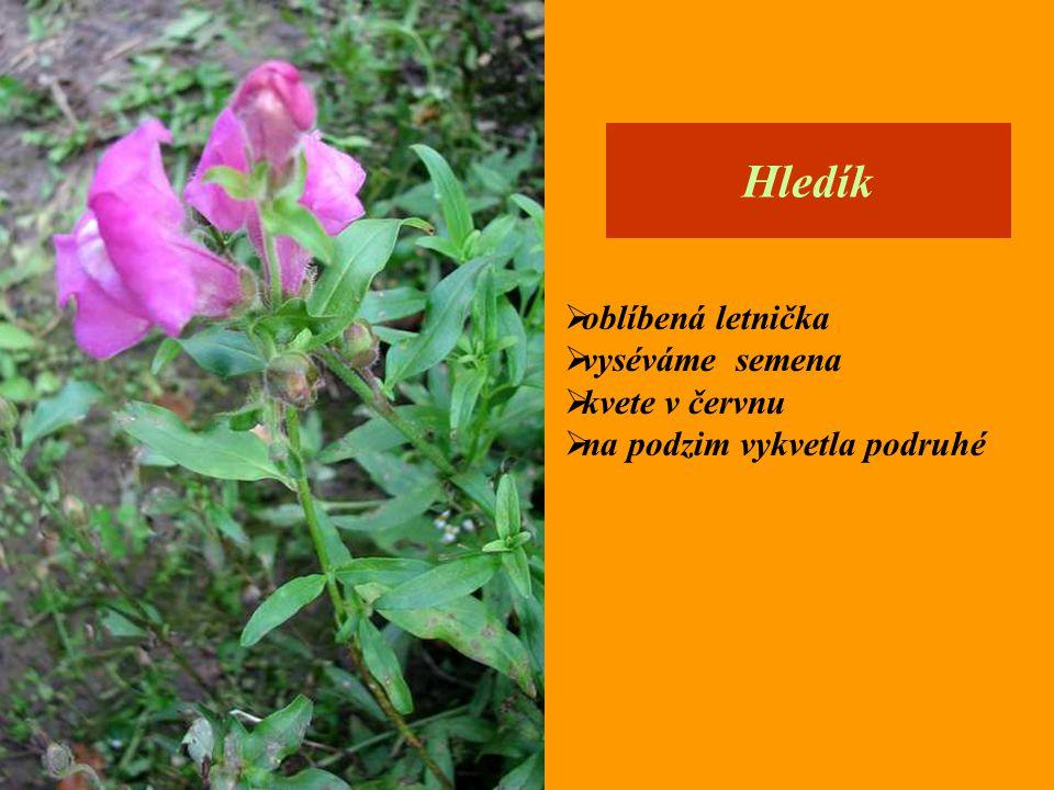  oblíbená letnička  vyséváme semena  kvete v červnu  na podzim vykvetla podruhé Hledík