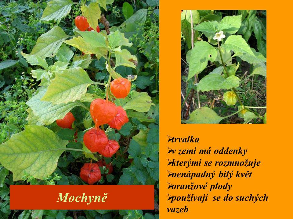  trvalka  v zemi má oddenky  kterými se rozmnožuje  nenápadný bílý květ  oranžové plody  používají se do suchých vazeb Mochyně