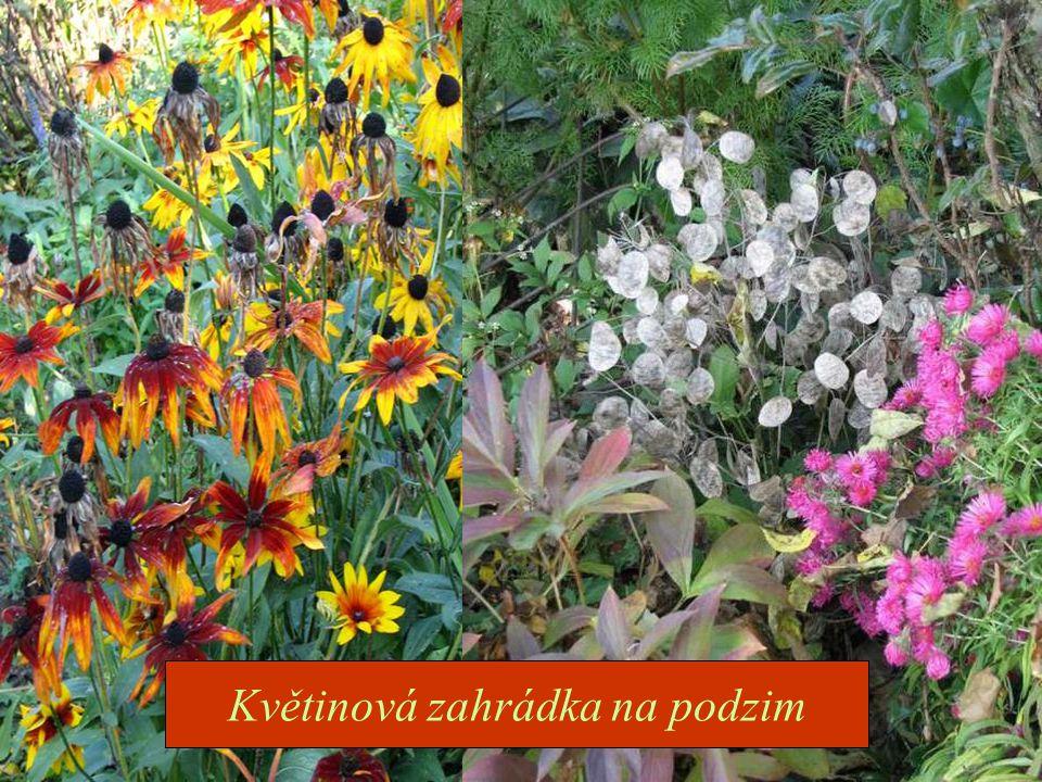 Květinová zahrádka na podzim je stále pestrá.Najdeme zde společně kvetoucí i odkvétající květy.