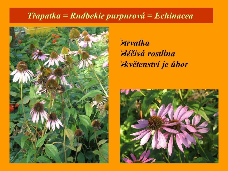 Třapatka = Rudbekie purpurová = Echinacea  trvalka  léčivá rostlina  květenství je úbor