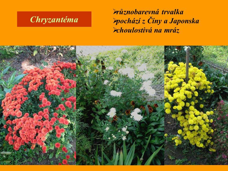 Chryzantéma  různobarevná trvalka  pochází z Číny a Japonska  choulostivá na mráz