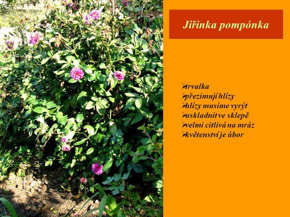 Afrikám = Aksamitník  velmi oblíbená letnička  jednoletá bylina  množí se semeny  nepříjemně voní  odpuzuje mouchy  květenství je úbor