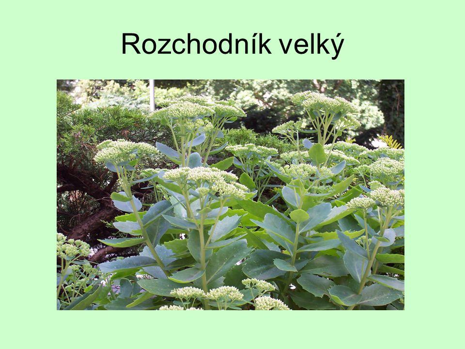 Netřesk střešní je stále zelená rostlina, odolná vůči mrazu dorůstá výšky 30cm i více má silné, dužnaté listy s červenavě hnědými špičkami.