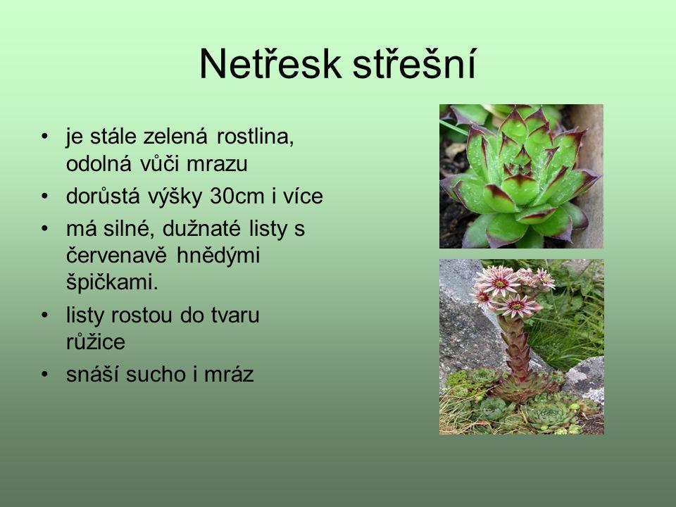 Netřesk střešní je stále zelená rostlina, odolná vůči mrazu dorůstá výšky 30cm i více má silné, dužnaté listy s červenavě hnědými špičkami. listy rost