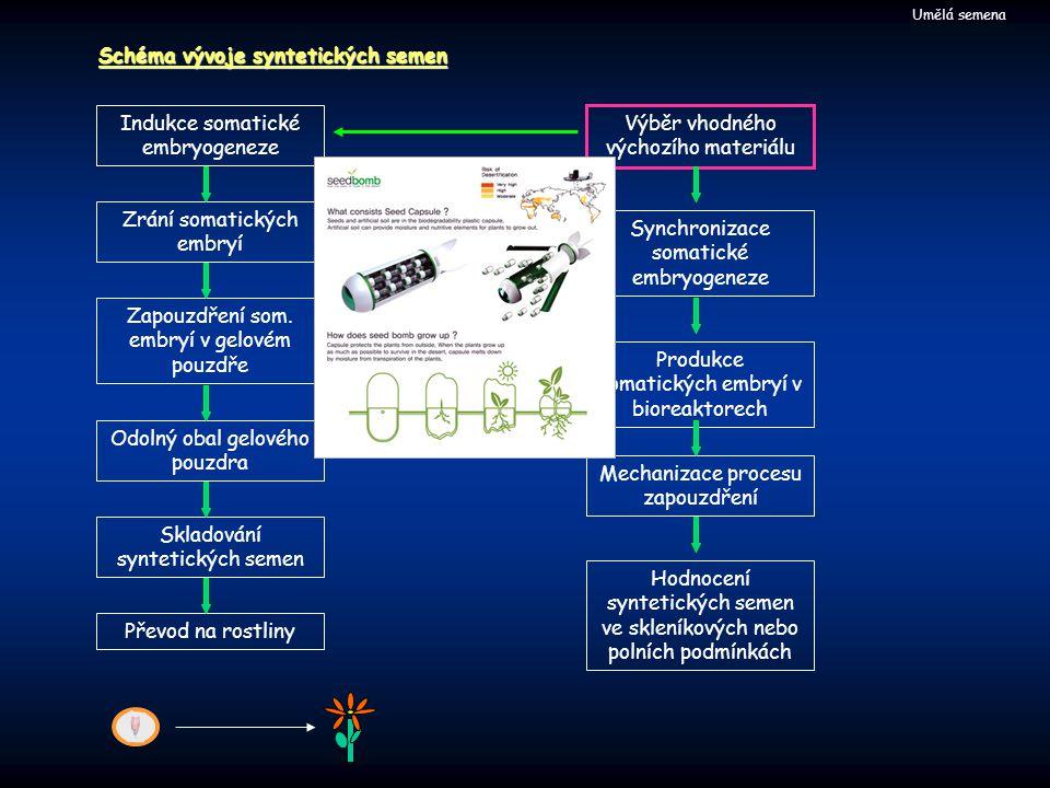 Umělá semena Schéma vývoje syntetických semen Indukce somatické embryogeneze Zrání somatických embryí Zapouzdření som.