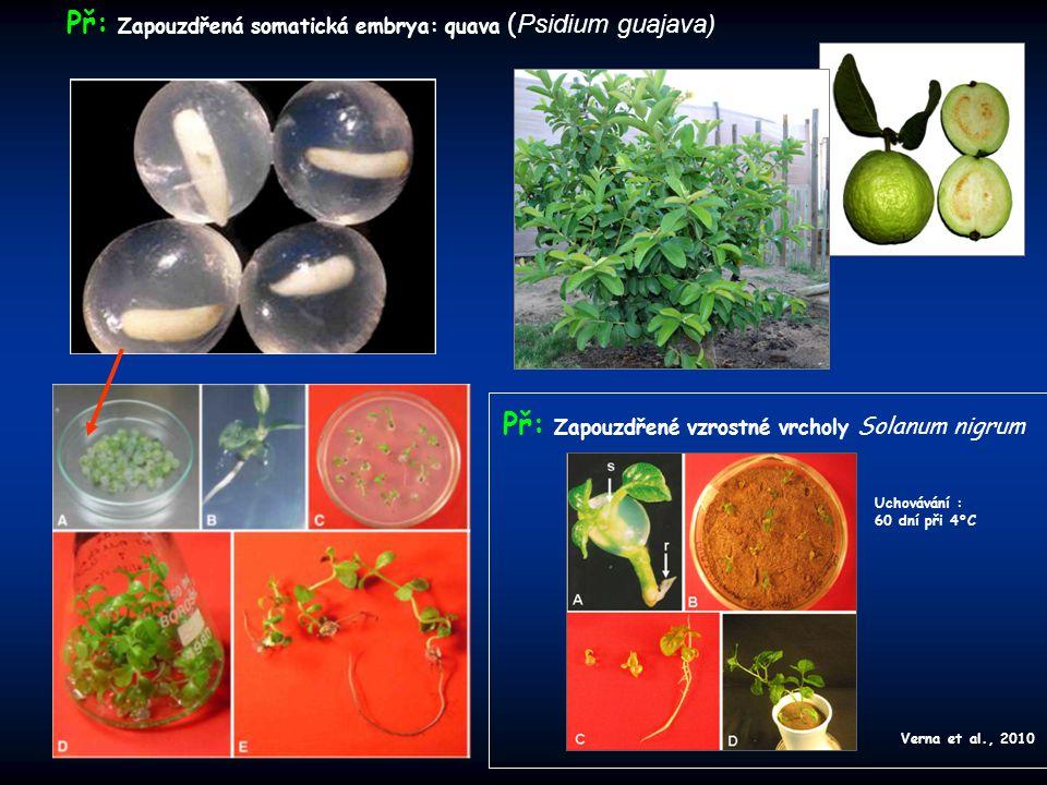 Př: Zapouzdřené vzrostné vrcholy Solanum nigrum Př: Zapouzdřená somatická embrya: quava ( Psidium guajava) Verna et al., 2010 Uchovávání : 60 dní při 4°C