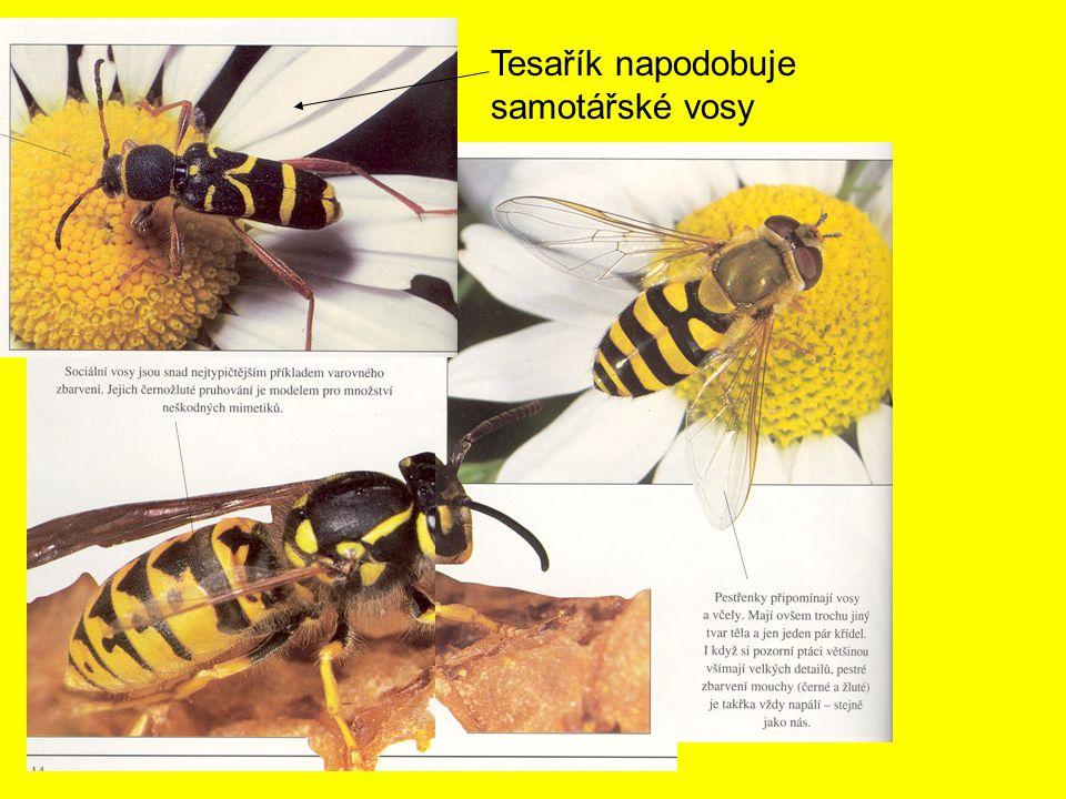 Tesařík napodobuje samotářské vosy