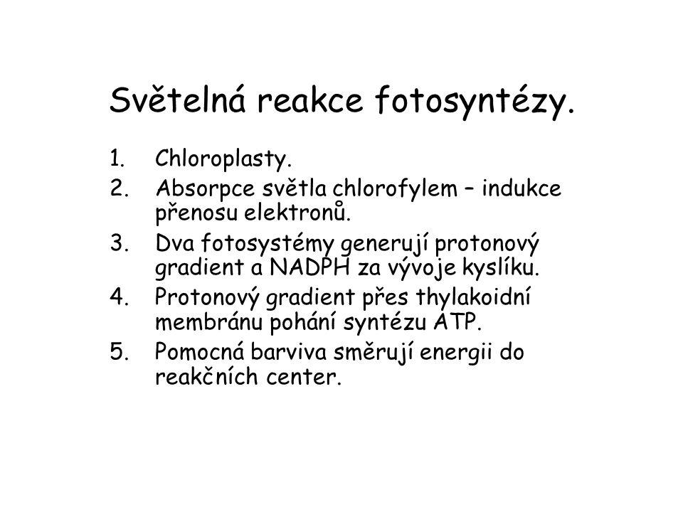 Světelná reakce fotosyntézy. 1.Chloroplasty. 2.Absorpce světla chlorofylem – indukce přenosu elektronů. 3.Dva fotosystémy generují protonový gradient