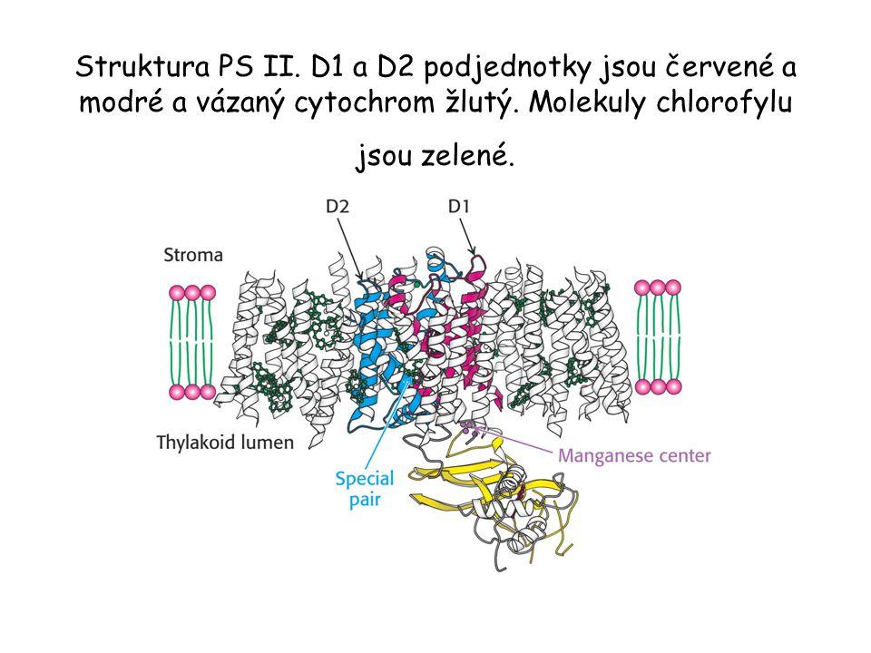Struktura PS II. D1 a D2 podjednotky jsou červené a modré a vázaný cytochrom žlutý. Molekuly chlorofylu jsou zelené.
