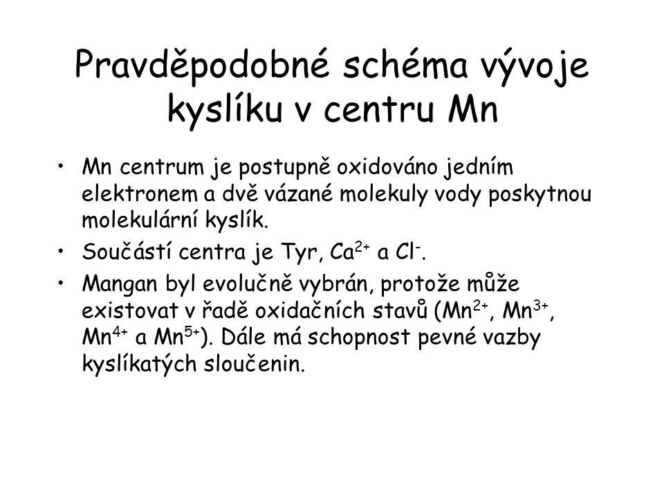 Pravděpodobné schéma vývoje kyslíku v centru Mn Mn centrum je postupně oxidováno jedním elektronem a dvě vázané molekuly vody poskytnou molekulární kyslík.