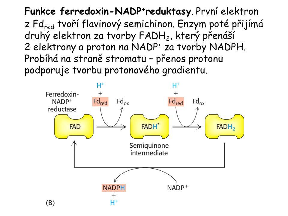 Funkce ferredoxin-NADP + reduktasy. První elektron z Fd red tvoří flavinový semichinon. Enzym poté přijímá druhý elektron za tvorby FADH 2, který přen