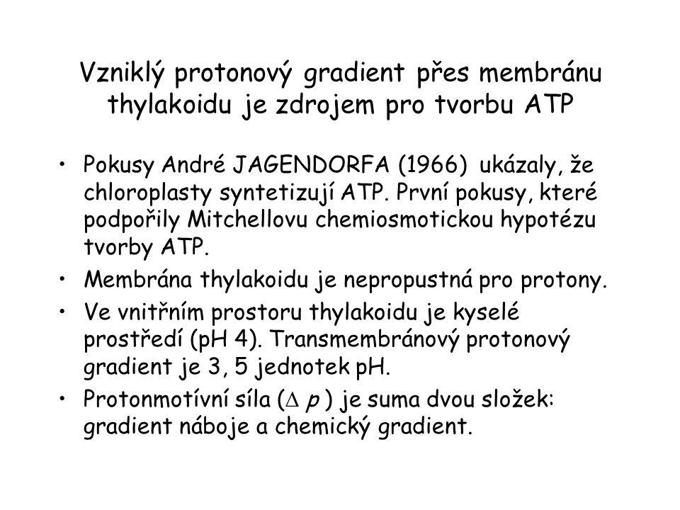 Vzniklý protonový gradient přes membránu thylakoidu je zdrojem pro tvorbu ATP Pokusy André JAGENDORFA (1966) ukázaly, že chloroplasty syntetizují ATP.