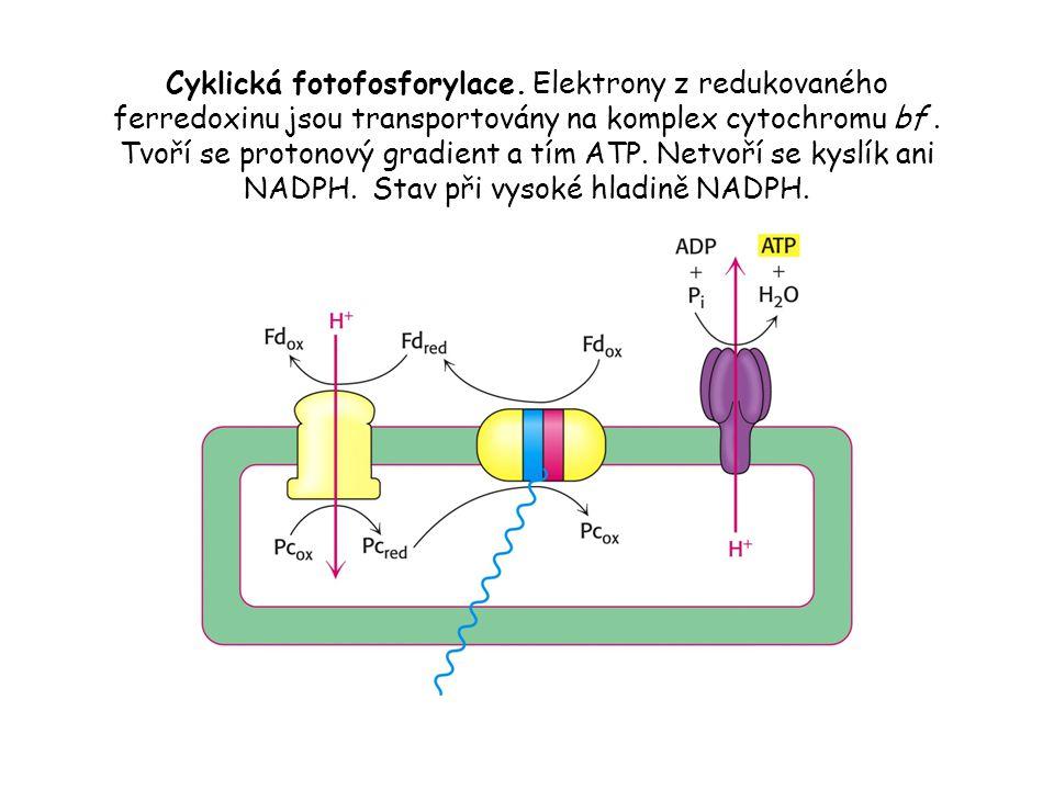 Cyklická fotofosforylace. Elektrony z redukovaného ferredoxinu jsou transportovány na komplex cytochromu bf. Tvoří se protonový gradient a tím ATP. Ne