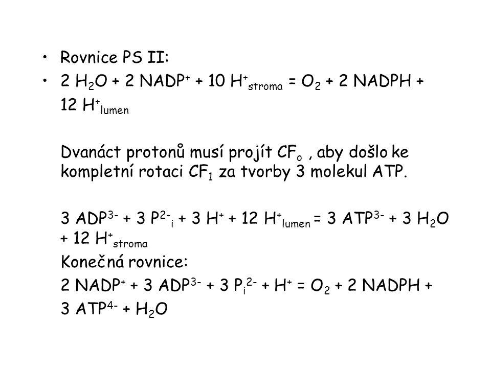 Rovnice PS II: 2 H 2 O + 2 NADP + + 10 H + stroma = O 2 + 2 NADPH + 12 H + lumen Dvanáct protonů musí projít CF o, aby došlo ke kompletní rotaci CF 1 za tvorby 3 molekul ATP.