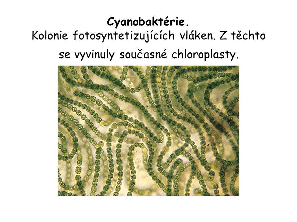 Cyanobaktérie. Kolonie fotosyntetizujících vláken. Z těchto se vyvinuly současné chloroplasty.