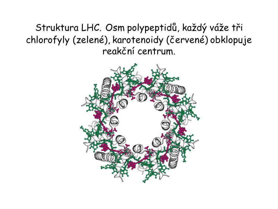 Struktura LHC. Osm polypeptidů, každý váže tři chlorofyly (zelené), karotenoidy (červené) obklopuje reakční centrum.