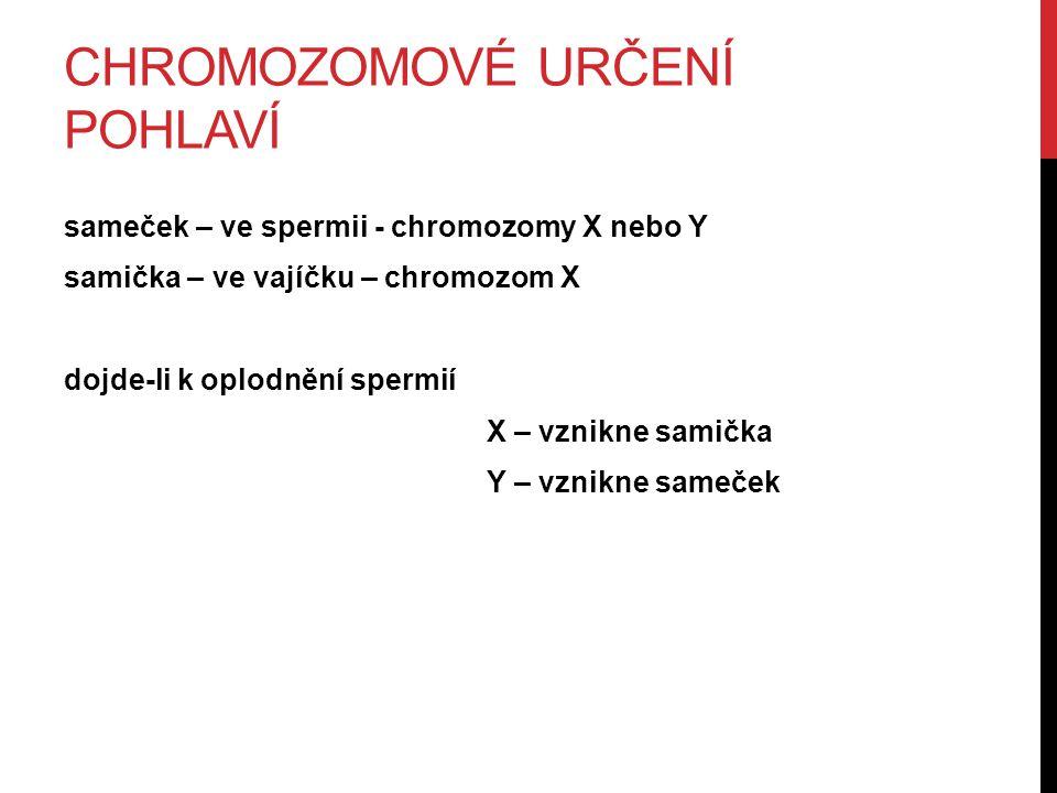 CHROMOZOMOVÉ URČENÍ POHLAVÍ sameček – ve spermii - chromozomy X nebo Y samička – ve vajíčku – chromozom X dojde-li k oplodnění spermií X – vznikne samička Y – vznikne sameček