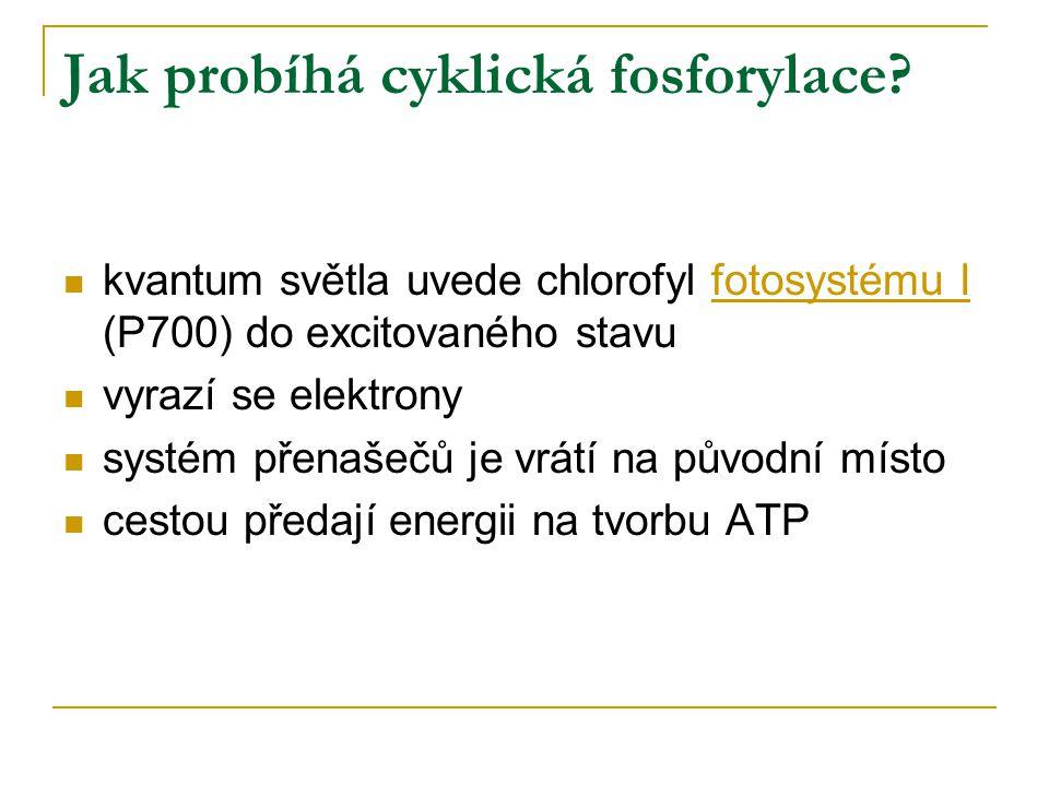 Jak probíhá cyklická fosforylace? kvantum světla uvede chlorofyl fotosystému I (P700) do excitovaného stavu vyrazí se elektrony systém přenašečů je vr
