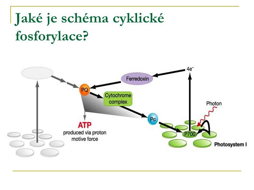 Jaké je schéma cyklické fosforylace?