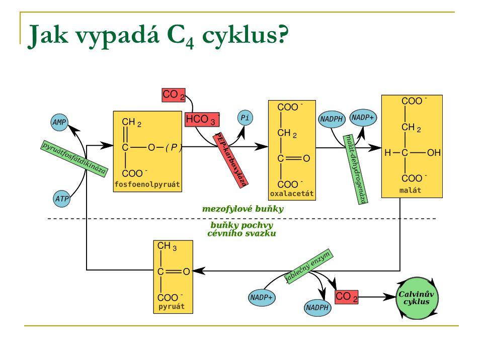 Jak vypadá C 4 cyklus?