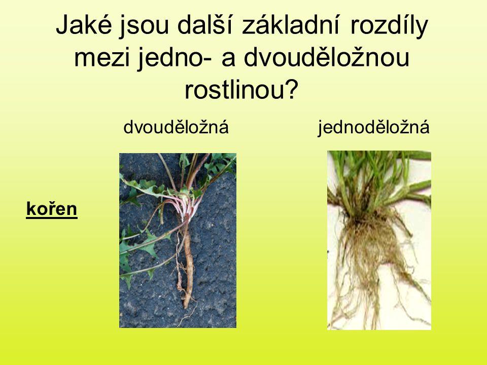 Jaké jsou další základní rozdíly mezi jedno- a dvouděložnou rostlinou? dvouděložnájednoděložná kořen