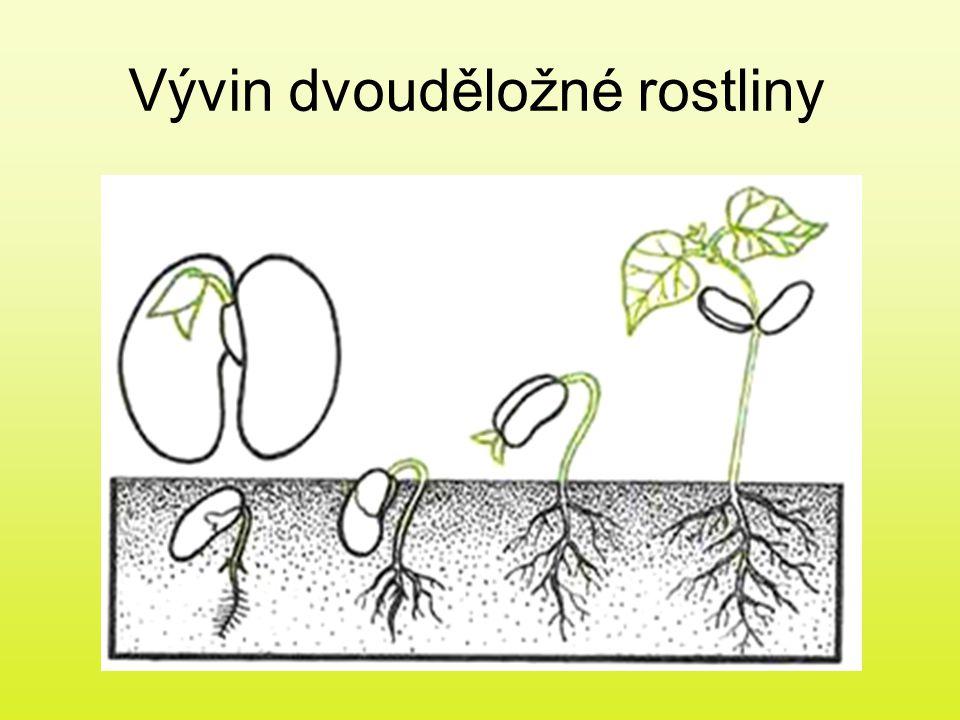 Vývin dvouděložné rostliny