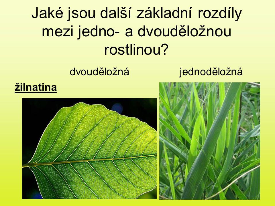 Jaké jsou další základní rozdíly mezi jedno- a dvouděložnou rostlinou? dvouděložnájednoděložná žilnatina