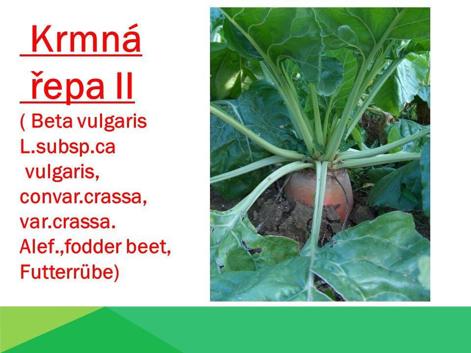 Krmná řepa II ( Beta vulgaris L.subsp.ca vulgaris, convar.crassa, var.crassa. Alef.,fodder beet, Futterrübe)