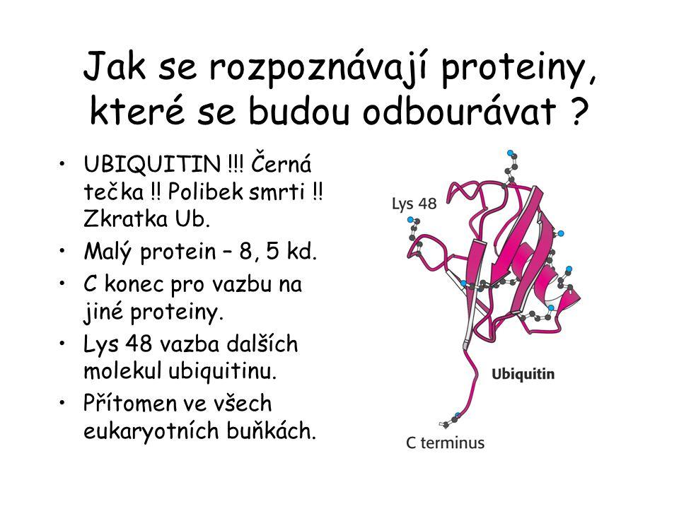 Jak se rozpoznávají proteiny, které se budou odbourávat ? UBIQUITIN !!! Černá tečka !! Polibek smrti !! Zkratka Ub. Malý protein – 8, 5 kd. C konec pr