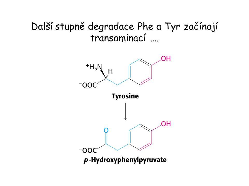 Další stupně degradace Phe a Tyr začínají transaminací ….
