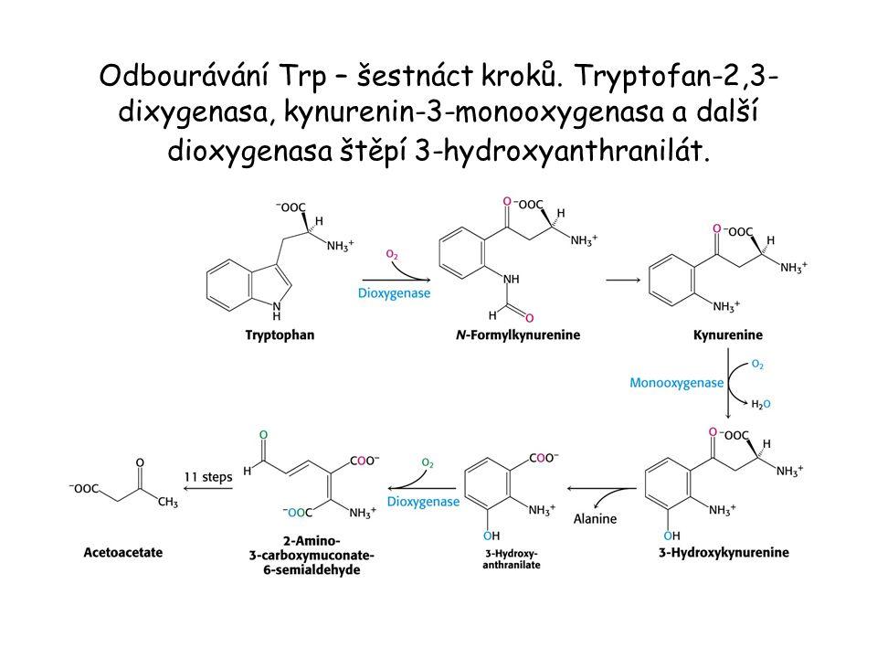 Odbourávání Trp – šestnáct kroků. Tryptofan-2,3- dixygenasa, kynurenin-3-monooxygenasa a další dioxygenasa štěpí 3-hydroxyanthranilát.