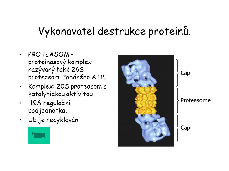 Vykonavatel destrukce proteinů. PROTEASOM – proteinasový komplex nazývaný také 26S proteasom. Poháněno ATP. Komplex: 20S proteasom s katalytickou akti