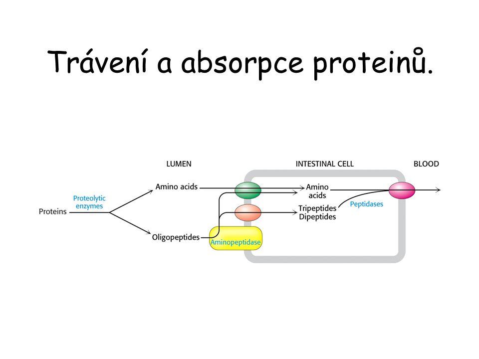 Trávení a absorpce proteinů.
