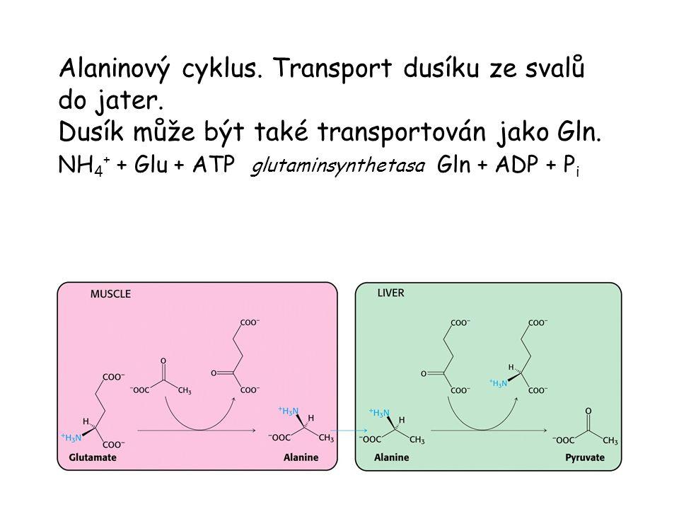 Alaninový cyklus. Transport dusíku ze svalů do jater. Dusík může být také transportován jako Gln. NH 4 + + Glu + ATP glutaminsynthetasa Gln + ADP + P