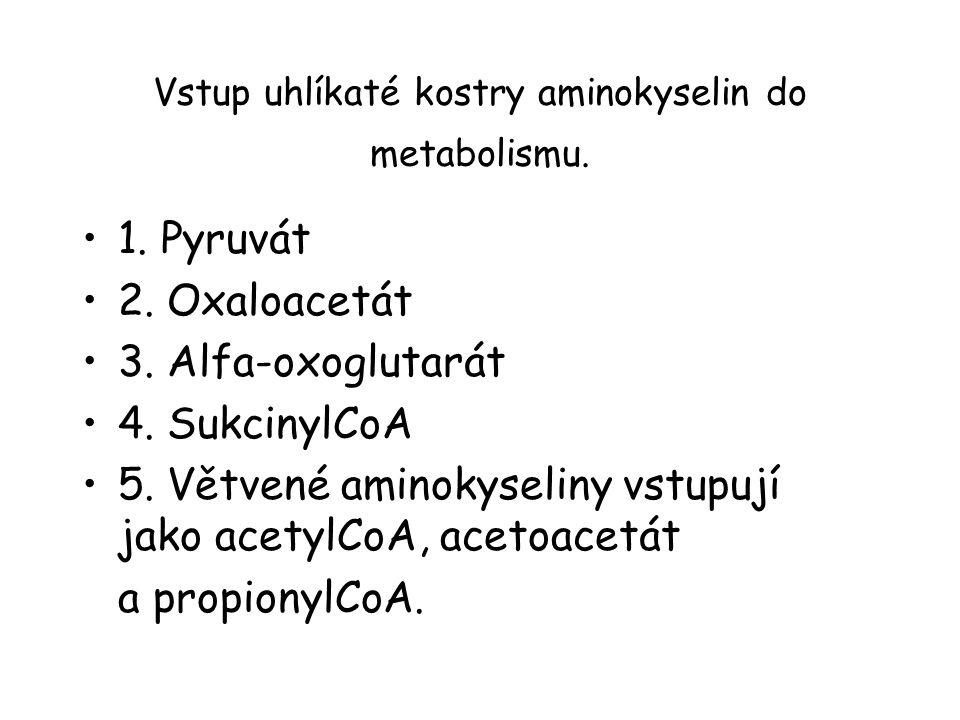 Vstup uhlíkaté kostry aminokyselin do metabolismu. 1. Pyruvát 2. Oxaloacetát 3. Alfa-oxoglutarát 4. SukcinylCoA 5. Větvené aminokyseliny vstupují jako