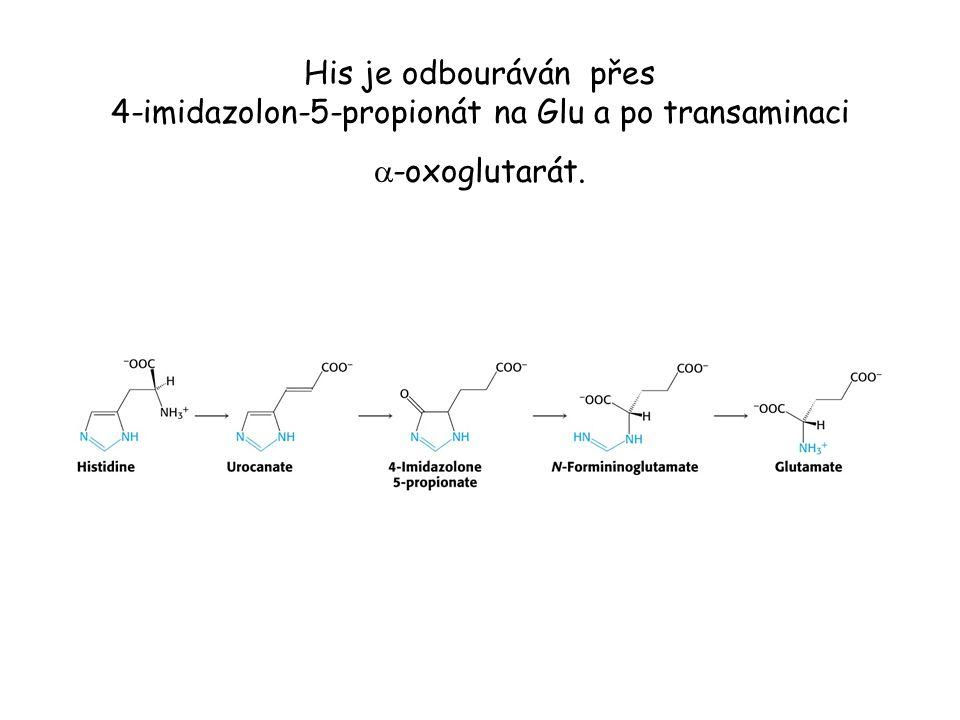 His je odbouráván přes 4-imidazolon-5-propionát na Glu a po transaminaci  -oxoglutarát.