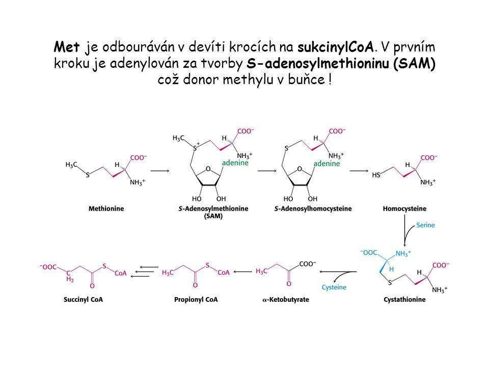 Met je odbouráván v devíti krocích na sukcinylCoA. V prvním kroku je adenylován za tvorby S-adenosylmethioninu (SAM) což donor methylu v buňce !
