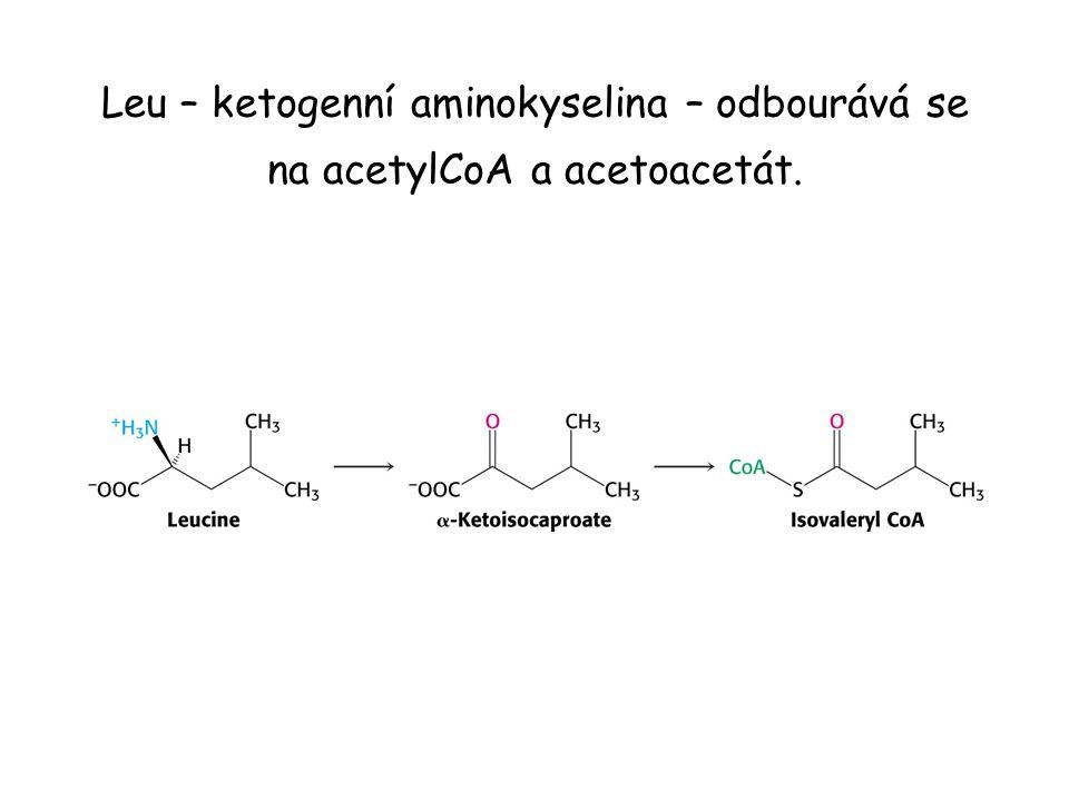Leu – ketogenní aminokyselina – odbourává se na acetylCoA a acetoacetát.