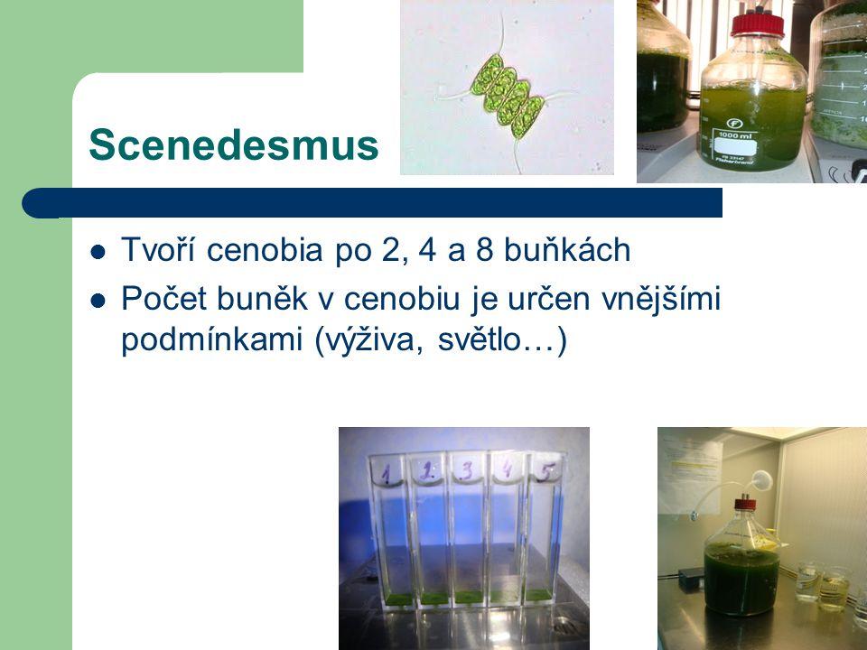 Scenedesmus Tvoří cenobia po 2, 4 a 8 buňkách Počet buněk v cenobiu je určen vnějšími podmínkami (výživa, světlo…)